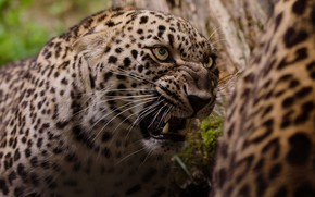 Picture look, face, portrait, mouth, leopard, grin, evil, aggression, wild cat, roar, terrible
