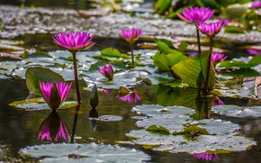 Picture leaves, water, flowers, lake, pond, bright, water lilies, pond, lilac, bokeh, nymphs