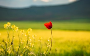 Picture field, flower, summer, flowers, mountains, red, glade, Mac, Maki, yellow, lonely, rape, rapeseed