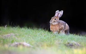 Picture grass, look, the dark background, glade, hare, Bunny