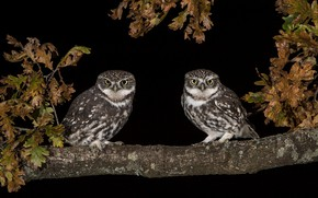 Picture leaves, birds, owl, two, pair, black background, owls, Duo, owl, owls