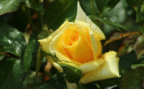 Picture drops, rose, yellow rose