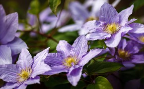 Picture flowers, clematis, garden, clematis, lilac, bokeh, Liana