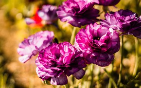 Picture flowers, bright, pink, bokeh, Ranunculus