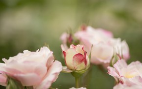 Picture flowers, background, Bush, roses, pink, buds