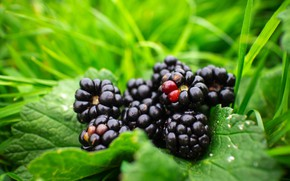 Picture greens, grass, berries, BlackBerry, a handful