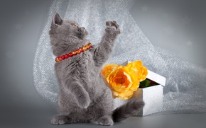 Picture cat, flowers, pose, kitty, grey, box, legs, fabric, beads, photoshoot, stand, British