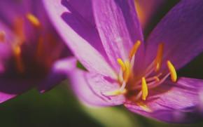 Picture macro, petals, stamens, Krokus, Saffron