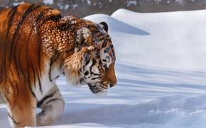 Picture winter, snow, nature, tiger, animal, predator, Oleg Bogdanov