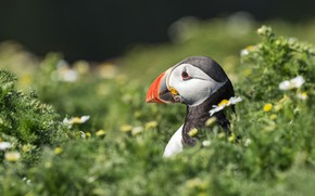 Picture summer, grass, flowers, bird, portrait, profile, stalled, bokeh, Atlantic