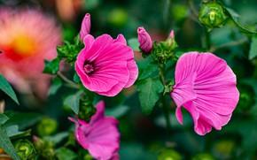Picture summer, flowers, garden, pink, lavatera, mallow