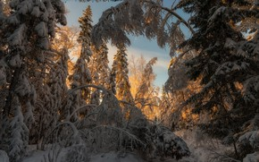 Picture winter, forest, snow, morning, ate, tree
