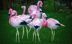 Picture grass, birds, branches, nature, pink, glade, pack, Flamingo, a lot, green background
