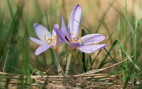 Picture grass, spring, crocuses, lilac, bokeh