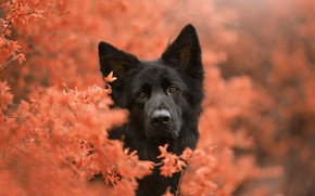 Picture face, dog, peer, bokeh, German shepherd