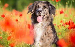Picture field, language, summer, look, face, light, flowers, nature, pose, Maki, portrait, dog, red, walk, grey, …