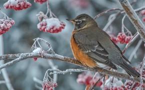 Picture winter, branches, berries, tree, bird, Rowan, Well, Turdus migratorius