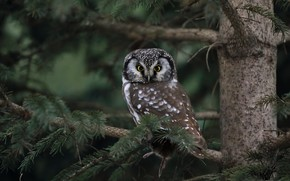 Picture nature, bird, Boreal owl