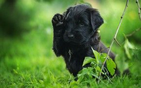 Picture grass, leaves, pose, black, dog, branch, baby, puppy, green background