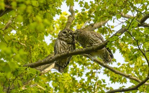 Picture greens, leaves, birds, branches, nature, pose, tree, owl, foliage, two, pair, owls, a couple, Duo, …