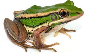 Picture frog, white background, wet, cold-blooded animal, green frog