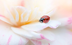 Picture white, flower, summer, macro, red, background, ladybug, beetle, blur, petals, insect, bug