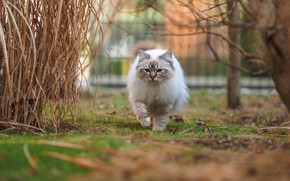 Picture cat, blue eyes, marks, color-point, walk, nature, branches, yard, glade, bokeh, the fence, ragdoll, grass, …