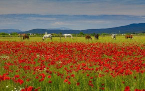 Picture summer, the sky, flowers, mountains, hills, Maki, horses, horse, red, a lot, poppy field, grazing