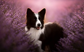 Picture face, dog, lavender, bokeh, The border collie
