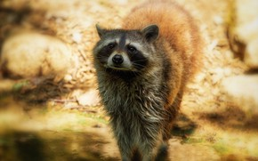 Picture look, light, pose, treatment, raccoon, is, face, pond