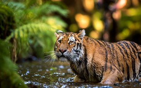 Wallpaper look, face, leaves, water, nature, tiger, pose, background, bathing, wild cat, pond, the expression, bokeh
