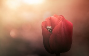 Picture flower, Tulip, frog