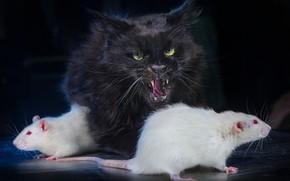 Picture cat, the dark background, black cat, rat, white rats, Igor Perfilyev