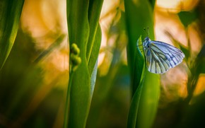 Picture grass, macro, nature, butterfly