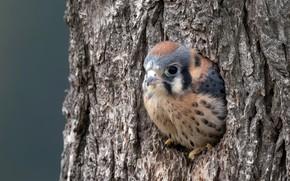 Picture nature, bird, Sparrow Kestrel