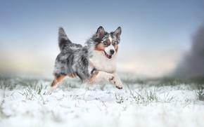 Picture winter, snow, joy, mood, dog, walk, Australian shepherd, Aussie