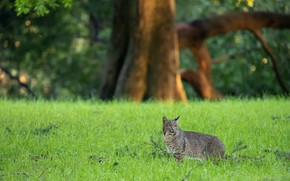 Picture grass, look, trees, nature, pose, background, lawn, glade, walk, lynx, wild cat, lawn