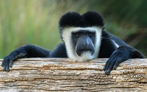 Picture look, face, background, portrait, paws, monkey, black, log, the primacy of, monkey, guereza, colobus