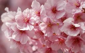 Picture macro, cherry, spring, petals, Sakura, flowering, flowers