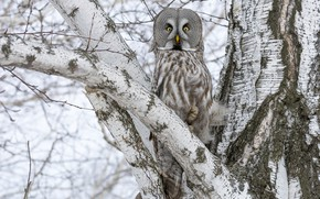 Picture the sky, tree, branch, Great grey owl (Strix nebulosa)