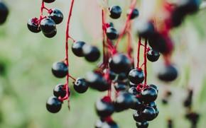 Picture autumn, nature, berries