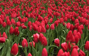Picture field, flowers, tulips, red, bokeh