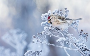 Picture frost, grass, background, bird, frost, Tap dance