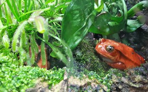 Picture nature, frog, red