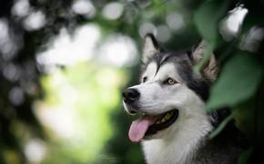 Picture language, face, portrait, dog, bokeh, Malamute