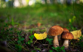 Picture autumn, forest, grass, leaves, mushrooms, trio, bokeh, boletus