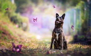 Picture forest, language, summer, grass, look, trees, flight, butterfly, nature, pose, Park, background, glade, dog, sitting, …