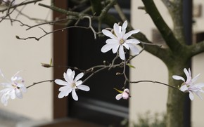 Picture flowers, branches, house, wall, spring, the door, white, flowering, Magnolia