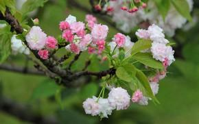 Picture leaves, branch, spring, Sakura, flowering, bokeh