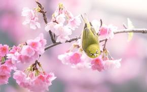 Picture flowers, background, bird, branch, spring, Sakura, pink, bird, flowering, yellow, Japanese white-eye